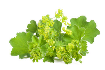 Lady's Mantle isolated on white Wall mural