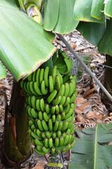 Bunch of bananas on a banana tree. Canary Islands. Spain.