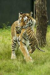 Aluminium Prints Tiger Tijger moeder met jong