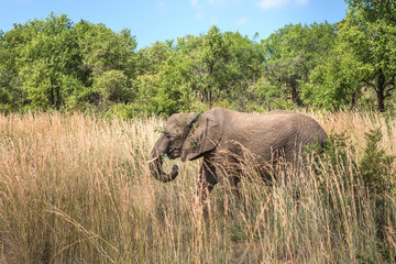 Elephant. Pilanesberg national park. South Africa.