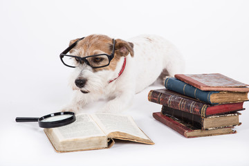 Jack Russell Terrier studying books.