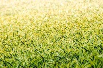 Weizen Feld im Sommer