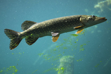 Northern pike (Esox lucius).