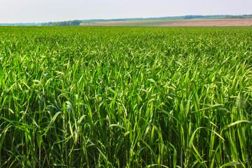 The Green Grass Field