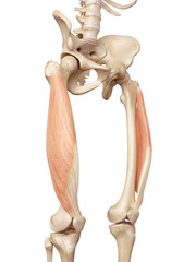 medical accurate illustration of the vastus lateralis