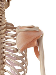 medical accurate illustration of the shoulder muscles
