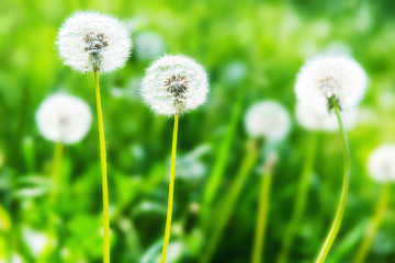White dandelions on the green lawn