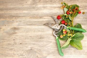 Beautiful colorful strawberry with secateurs on wooden background. Copy space to right.