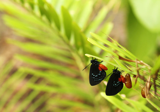 Two new Atala butterflies emerging from their chrysalis on a coontie plant