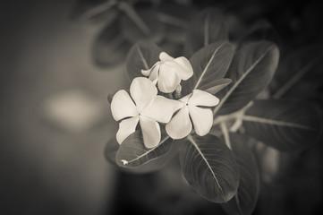 Vintage White periwinkle in garden