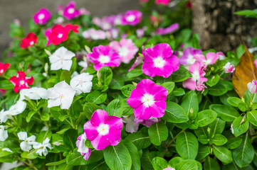 Colorful periwinkle flower in garden