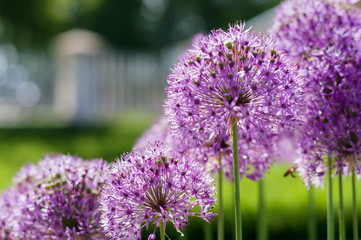 Blurred closeup background of blooming giant onion (Allium Gigan