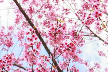 Japanese cherry blossom in spring