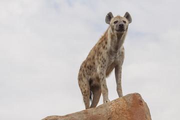 Printed kitchen splashbacks Hyena hyena
