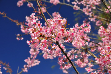 Wild Himalayan Cherry with clear blue sky