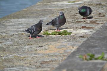 Pigeons sur les bords de Saône