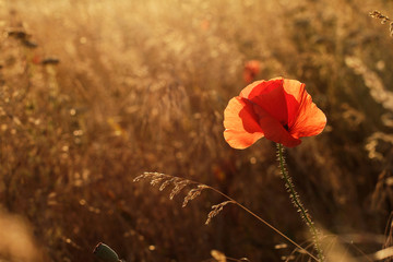Poppy in field at sunset in backlight