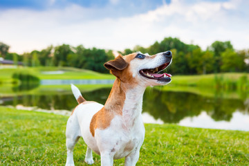 beautiful and cute fun Jack Russell terrier dog on nature background.