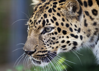 close up profile of an Amur leopard