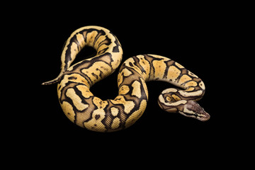 Female Ball Python. Firefly Morph or Mutation