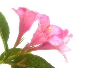 blooming pink flowers Weigel