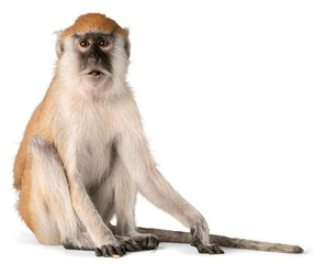 Foto op Textielframe Aap Monkey, Isolated, Animal.
