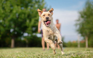 Young Labrador retriever dog in run