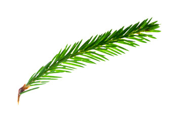 spruce isolated on white background.
