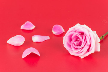 pink and white rose on red background