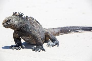 Marine iguana in the Galapagos islands