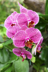 Closeup Pink orchid in tropical garden