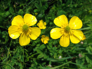 Image of flower plant yellow ranunculus,