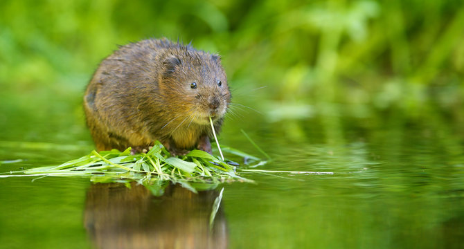 A little wild water vole eating
