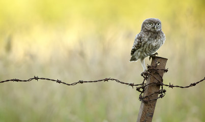 Fototapete - On Guard!, A little owl on a rusty old barbed wire fence