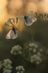 Black-veined White butterfly, Aporia crataegi