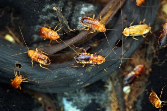 Turkestan cockroach (Blatta lateralis), also known as the rusty
