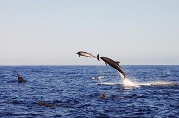 Jumping Dolphins - Galapagos