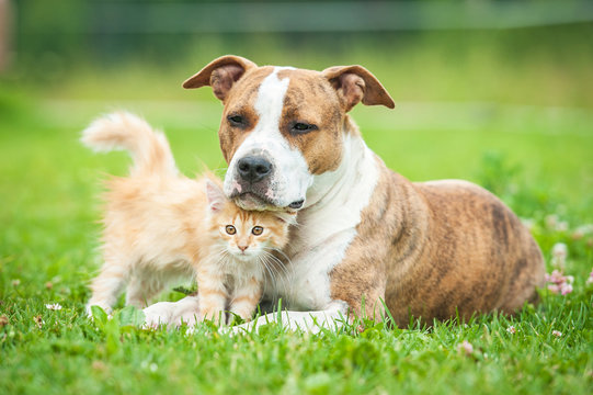 Friendship of american staffordshire terrier dog  with little kitten