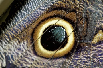 Owl Butterfly Occelli or Eyespot markings