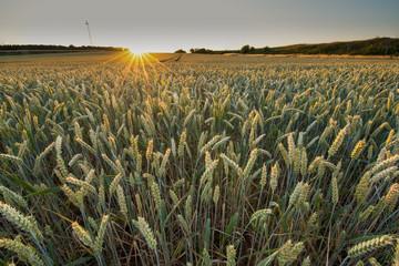 Fotoväggar - letzte Sonnenstrahlen auf ein Getreidefeld