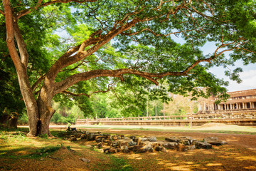 Spreading tree beside the ancient Angkor Wat in Cambodia
