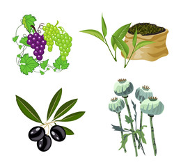 Olive, Grape, Tea and Opium Poppy