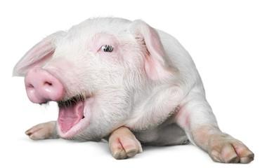 Farm, pig, white.
