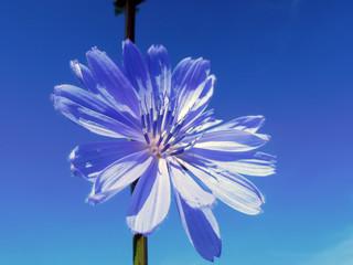 Голубой цветок цикория на фоне неба