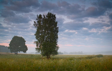 Birch trees in the early summer foggy morning