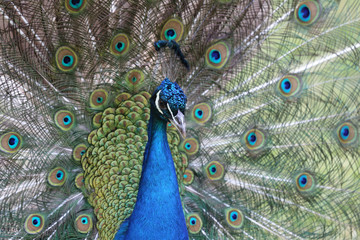 portrait of a peacock closeup on background of his expanded tail