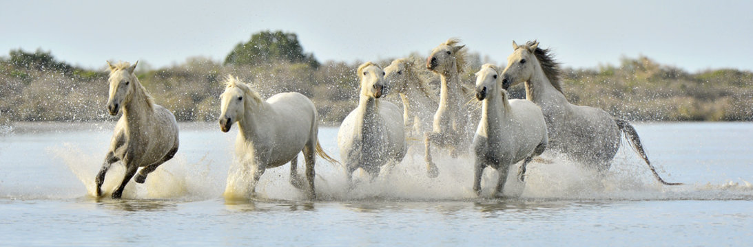 Herd of White Camargue horses running through water