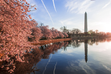Cherry blossoms in peak bloom. Washington D.C. Wall mural