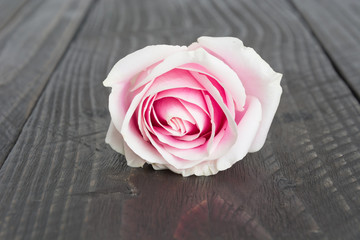 white and pink rose on wood background