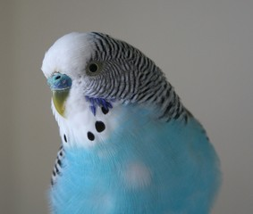 Male blue parakeet looking into camera lens stock photo